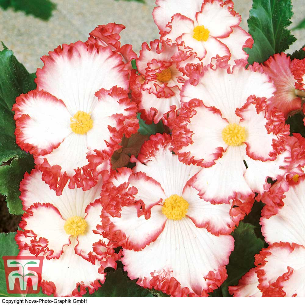 Image of Begonia 'Crispa Marginata' White-Red