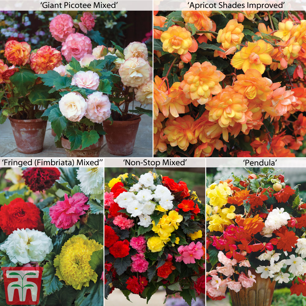 Image of Begonia Collection