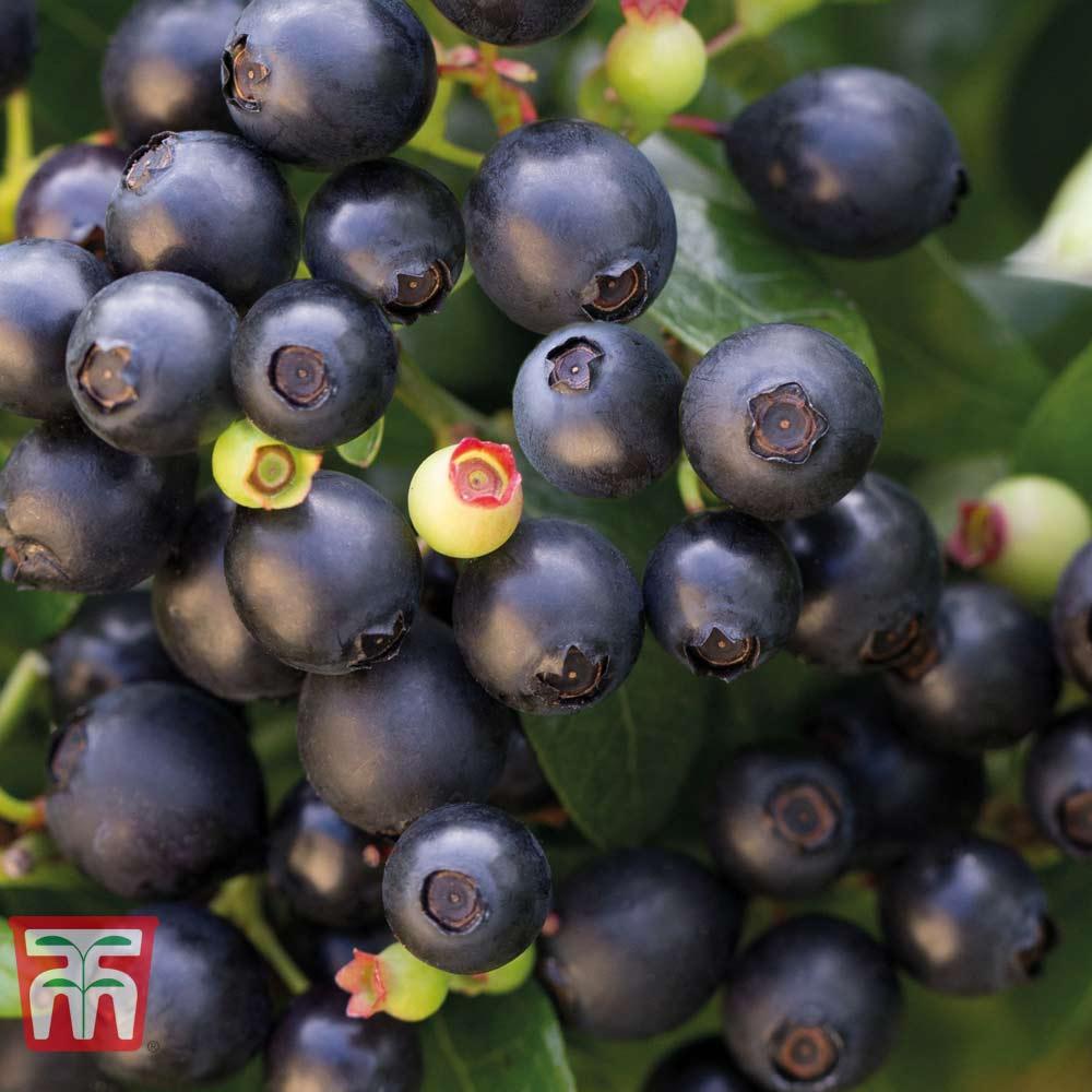 Image of Blueberry BerryBux®