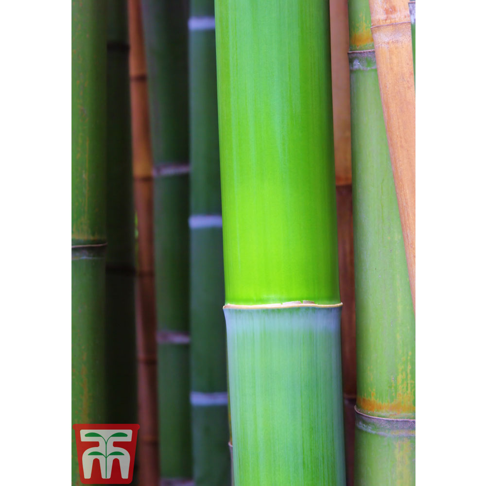 Image of Bisset's Bamboo