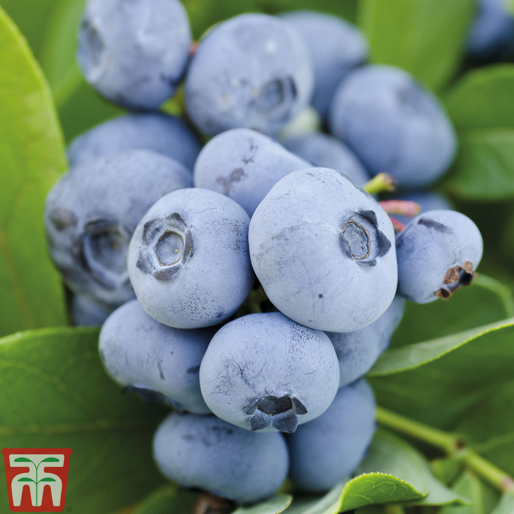 Image of Blueberry 'Chandler'