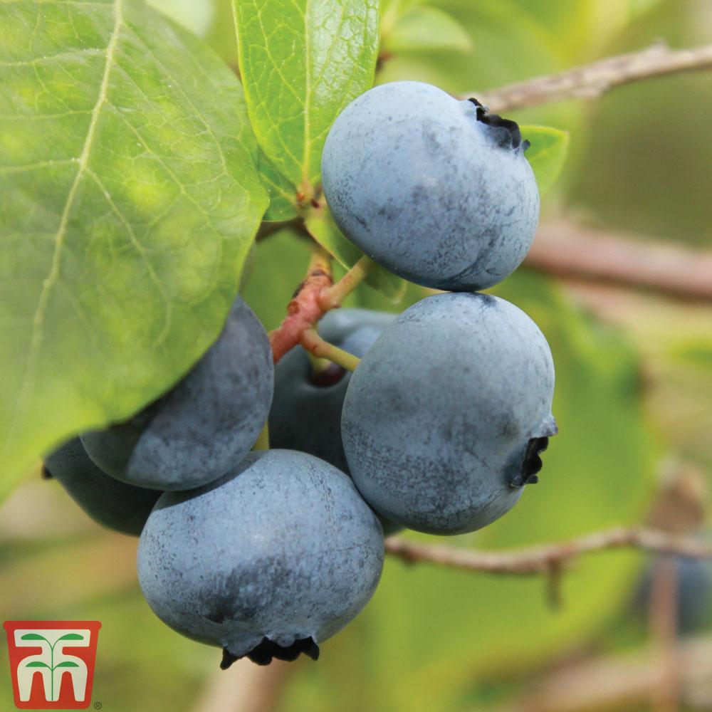 Image of Blueberry 'Brigitta' (Late season)