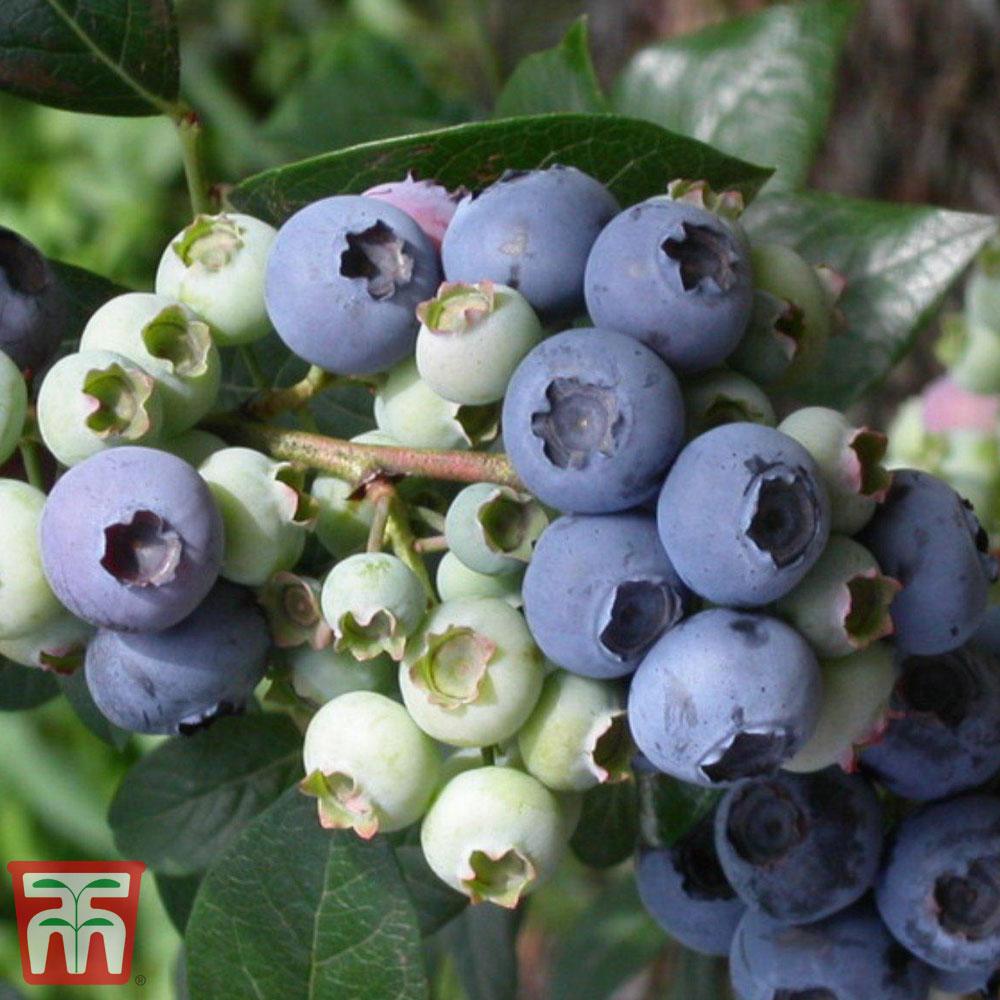 Image of Blueberry 'Elliot'