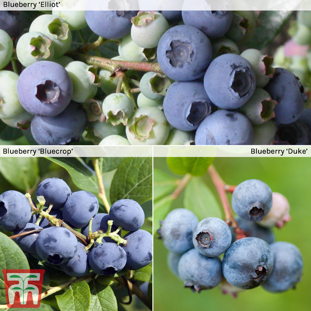 Image of Blueberry Collection