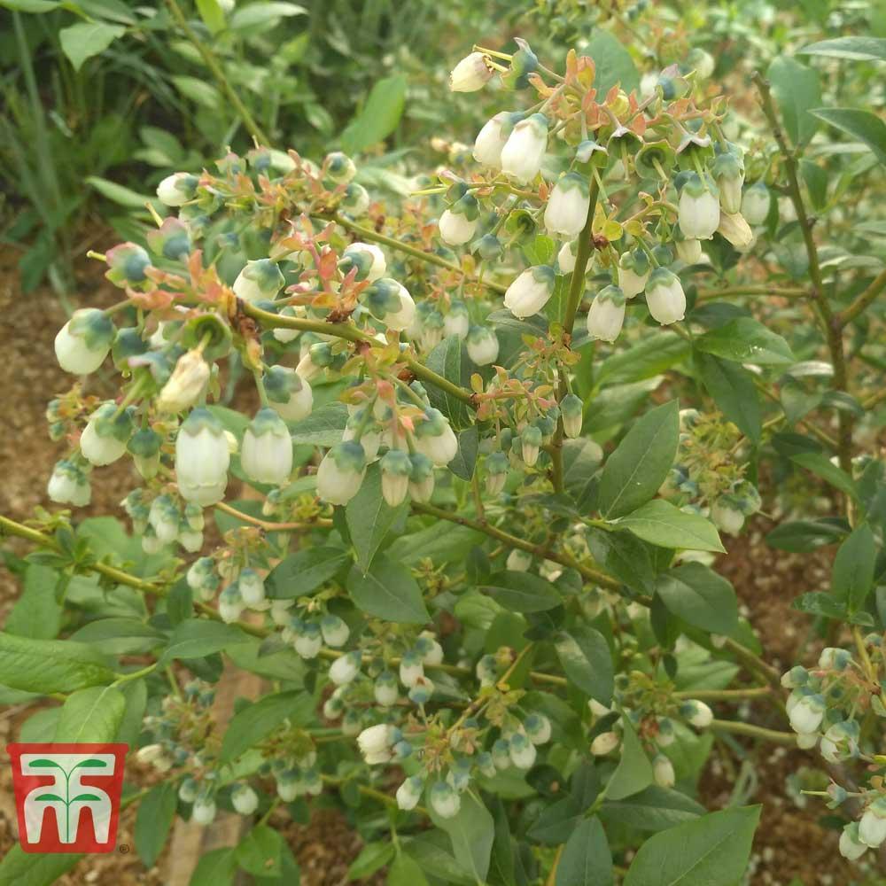 Image of Blueberry 'Bluegold'