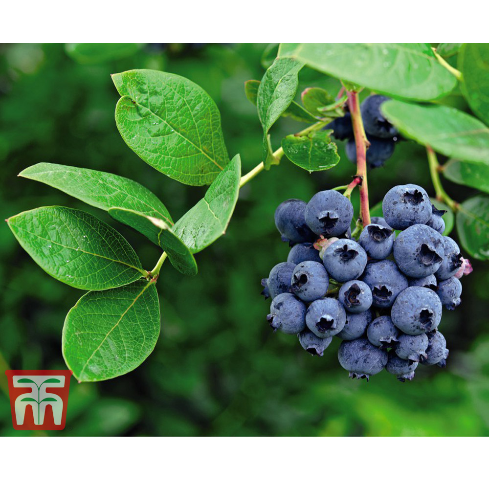 Image of Blueberry 'Darrow'