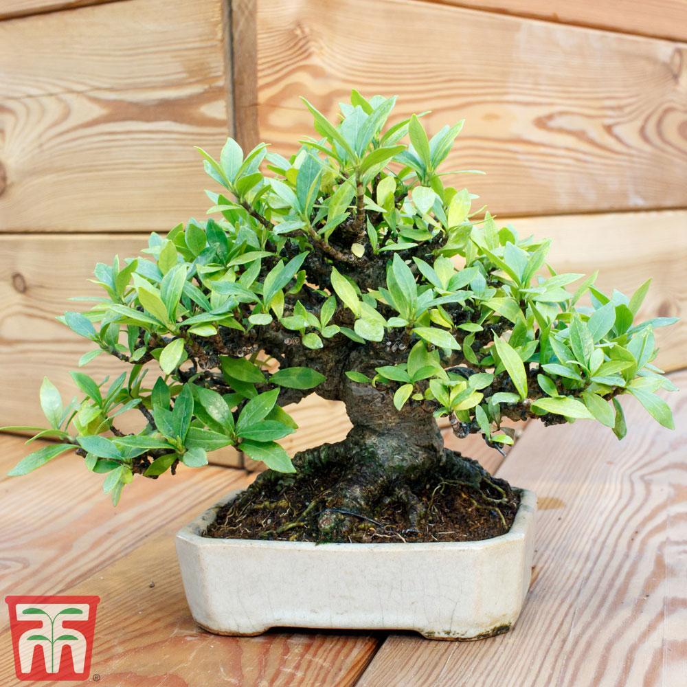 Image of Bonsai Carmona microphylla (House Plant)
