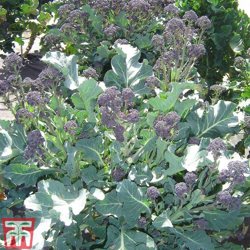 Image of Broccoli 'Red Fire' (Purple Sprouting)