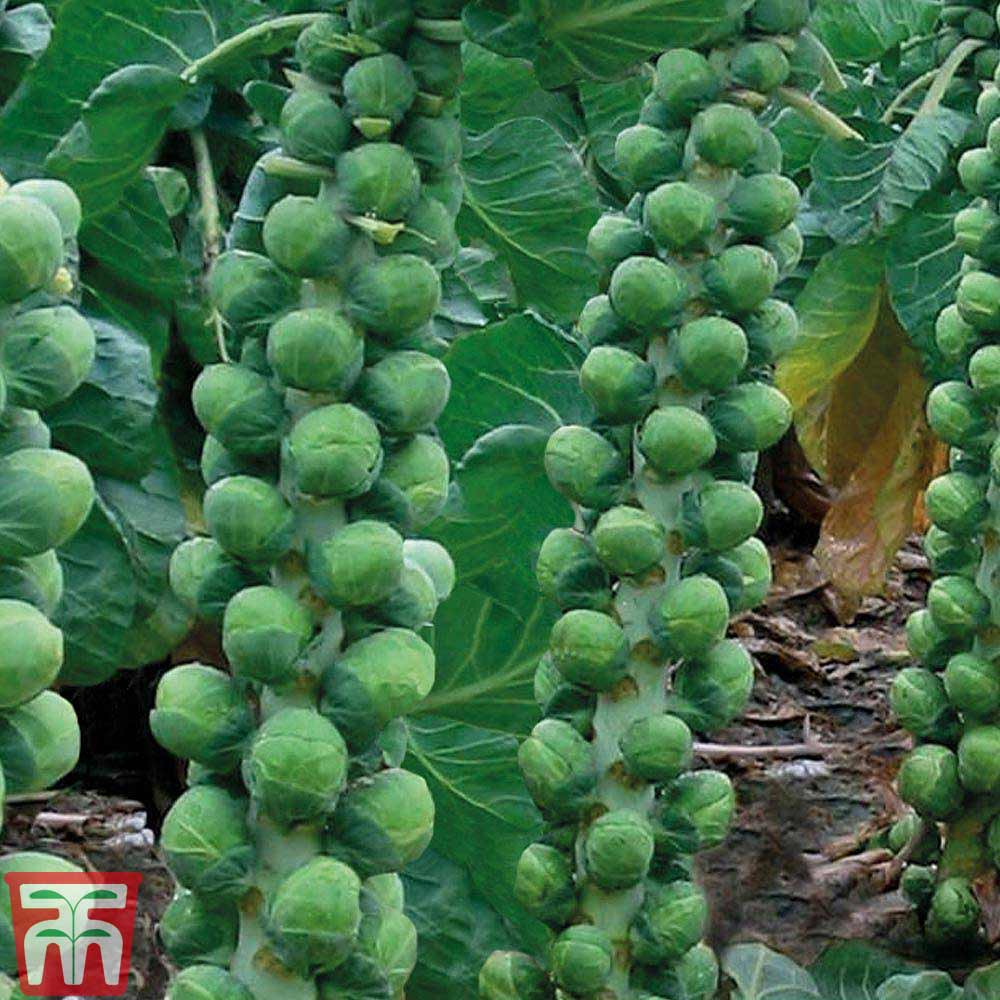 Image of Brussels Sprout 'Brodie' F1 Hybrid