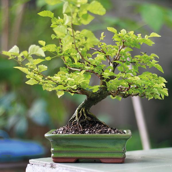 Image of Bonsai Japanese Elm - Gift