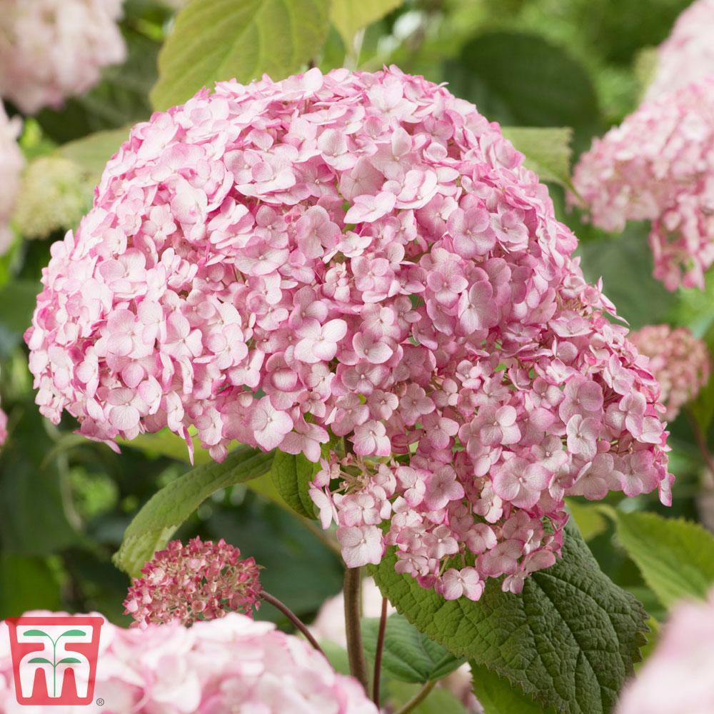 Image of Hydrangea arborescens 'Candybelle Bubblegum'
