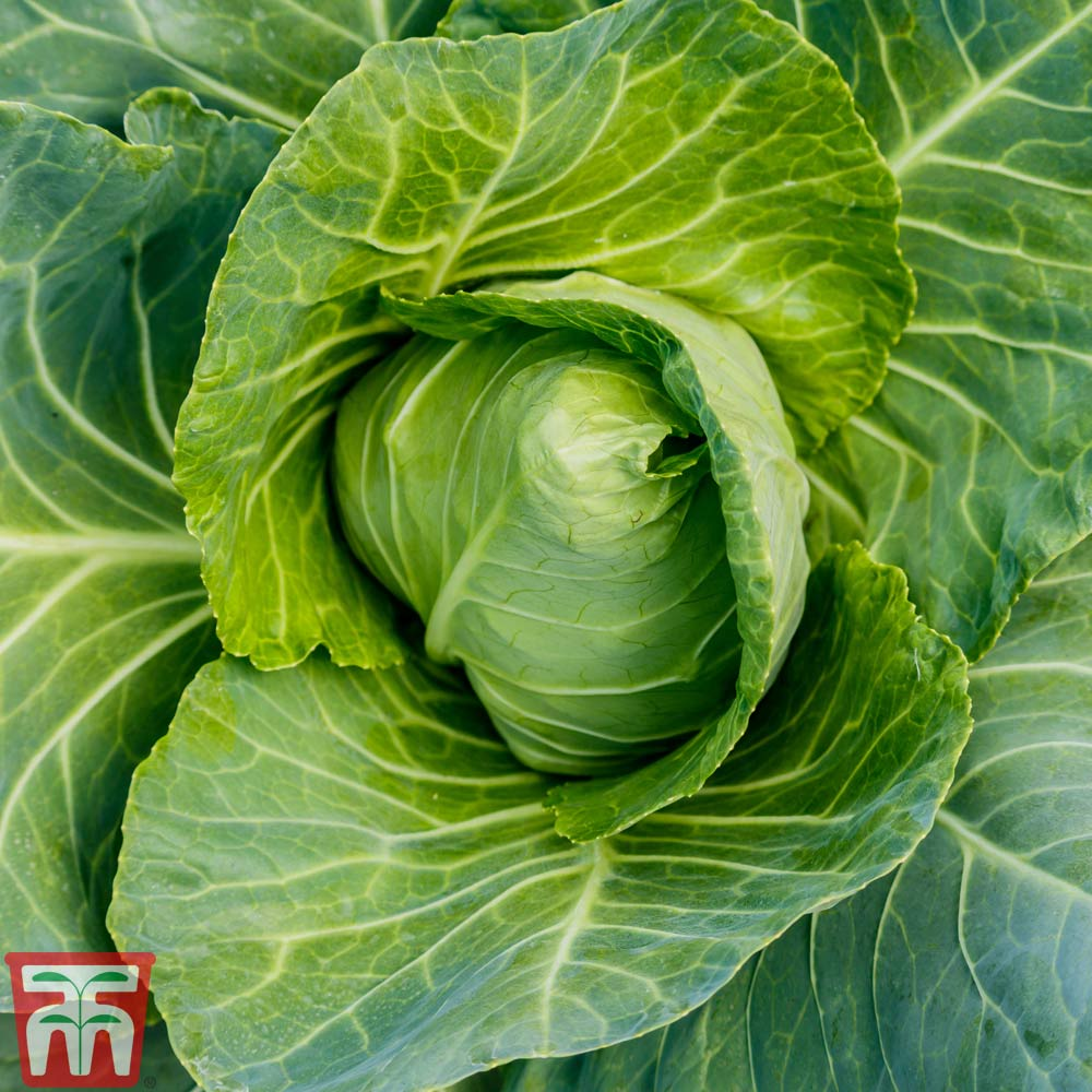 Image of Cabbage 'Wheelers Imperial' (Spring) - Heritage