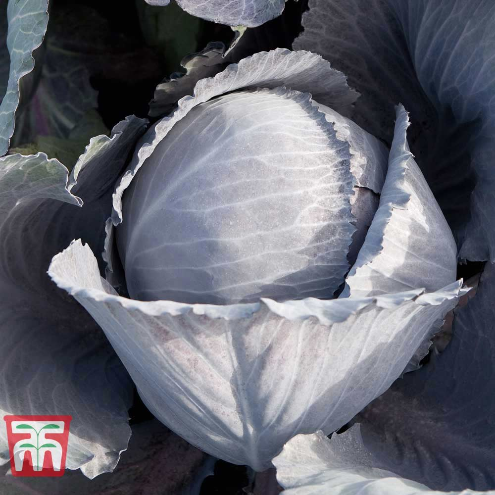 Image of Cabbage 'Lodero' F1 Hybrid (Autumn Red Cabbage)