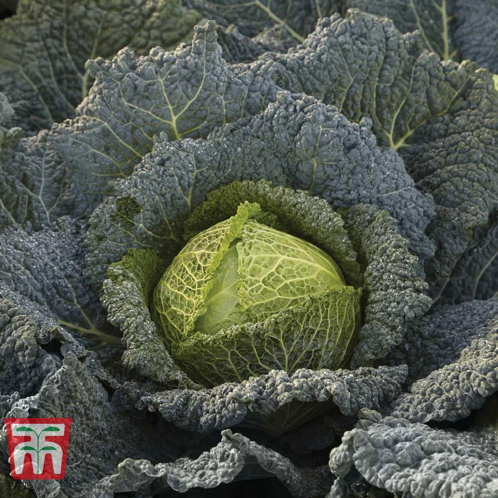 Image of Cabbage 'Cordesa' (Autumn Savoy)