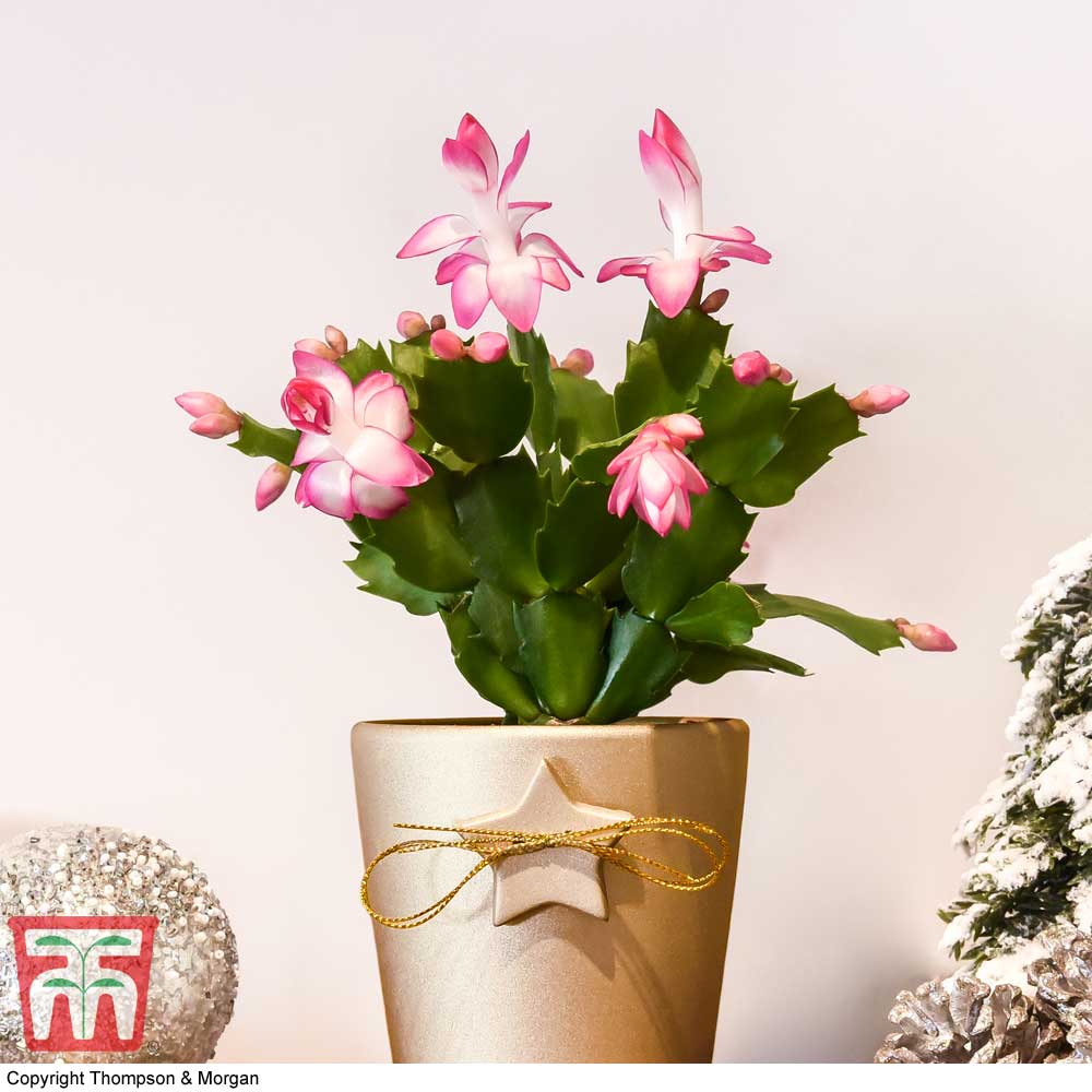 Image of Mini Christmas Cactus in Coloured Pot