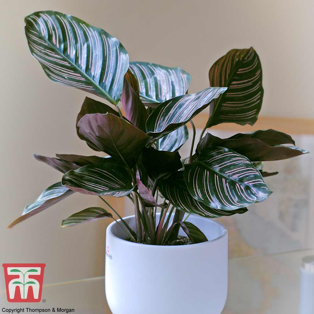 Image of Calathea 'Sanderiana' (House Plant)