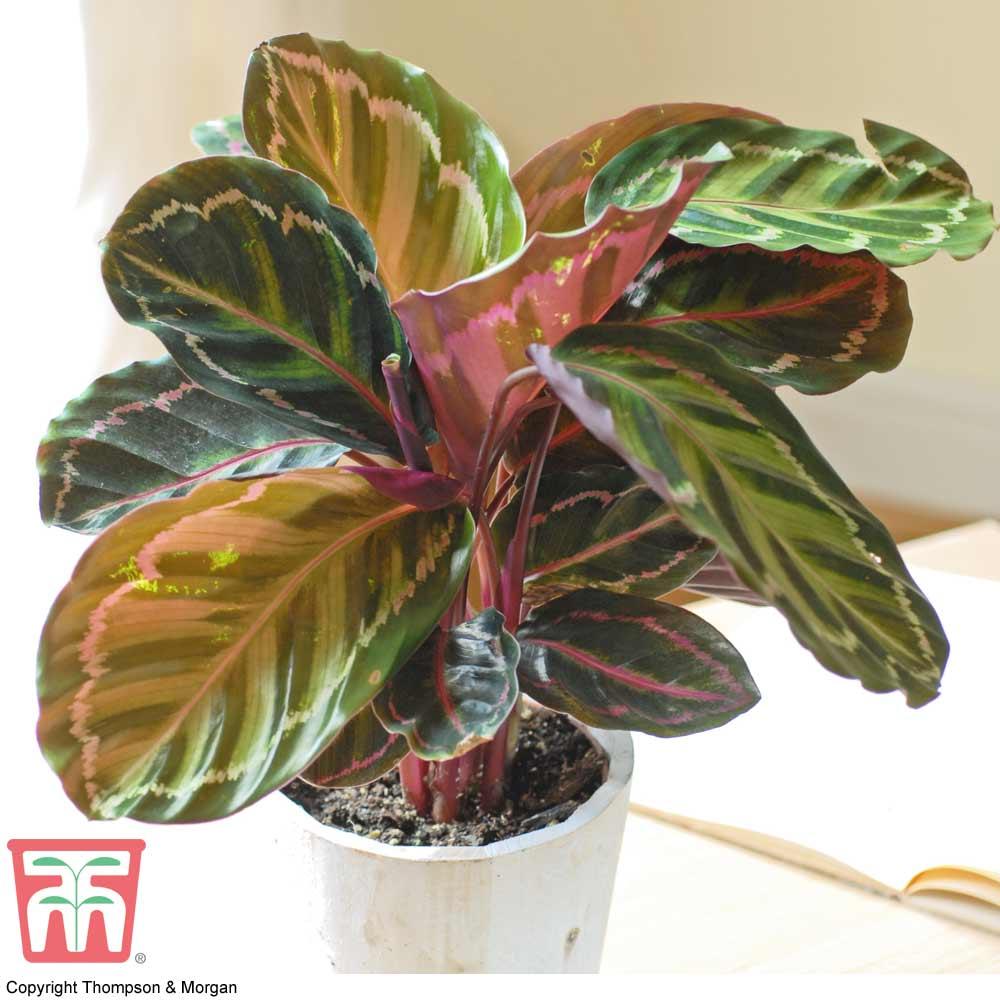 Image of Calathea roseopicta (House Plant)
