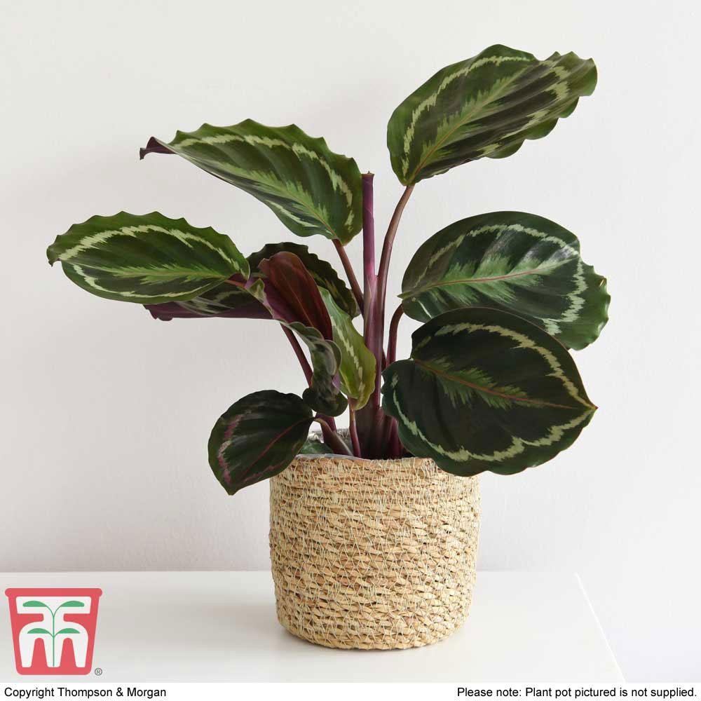 Image of Calathea roseopicta 'Medaillon' (House Plant)