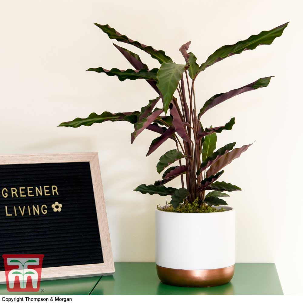Image of Calathea rufibarba (House Plant)