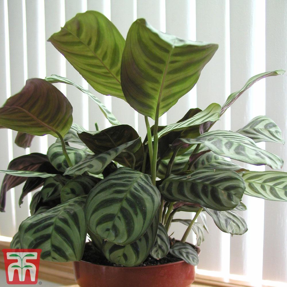 Image of Calathea 'Freddy' (House Plant)