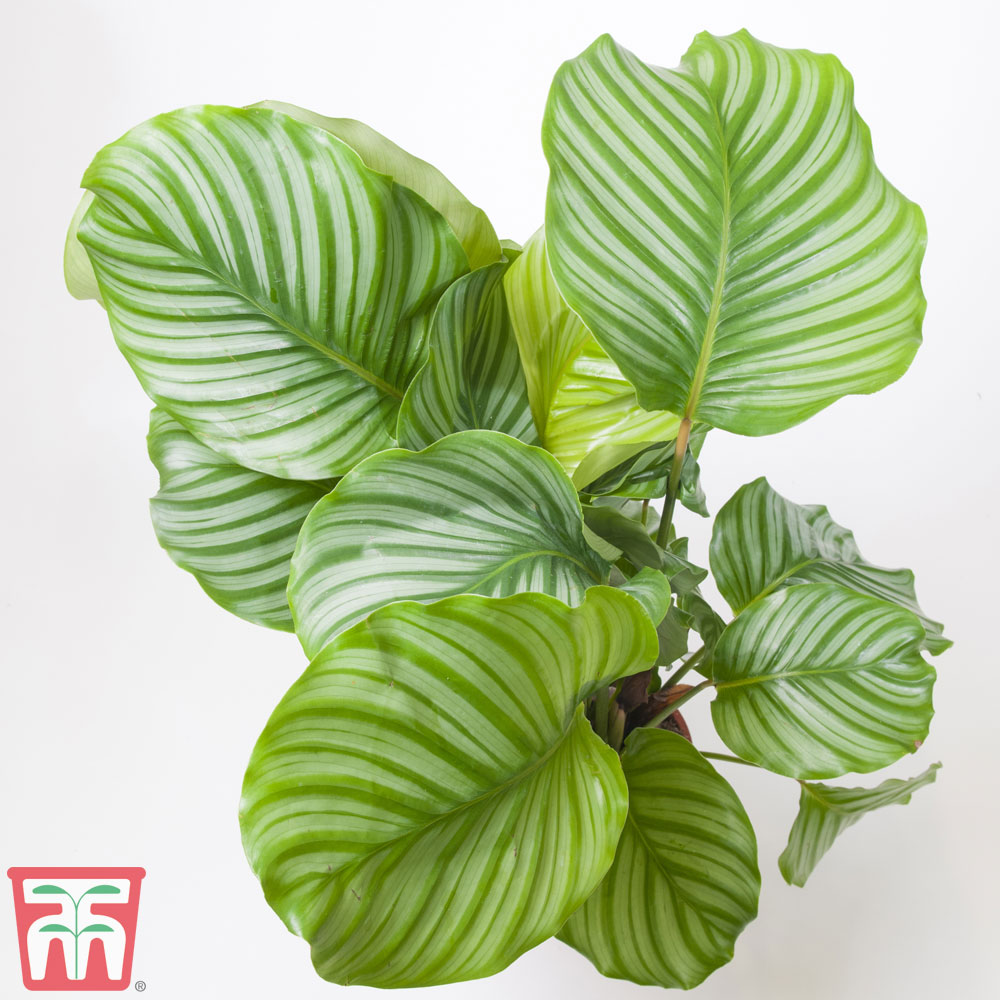 Image of Calathea orbifolia (House Plant)