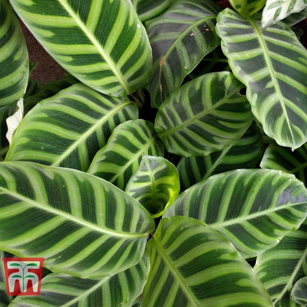 Image of Calathea zebrina (House Plant)