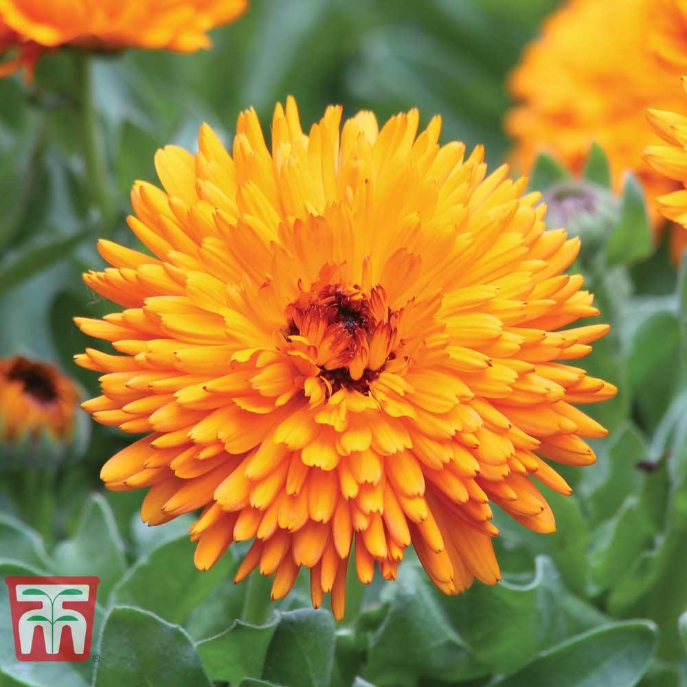 Image of Calendula 'Spiky Orange'