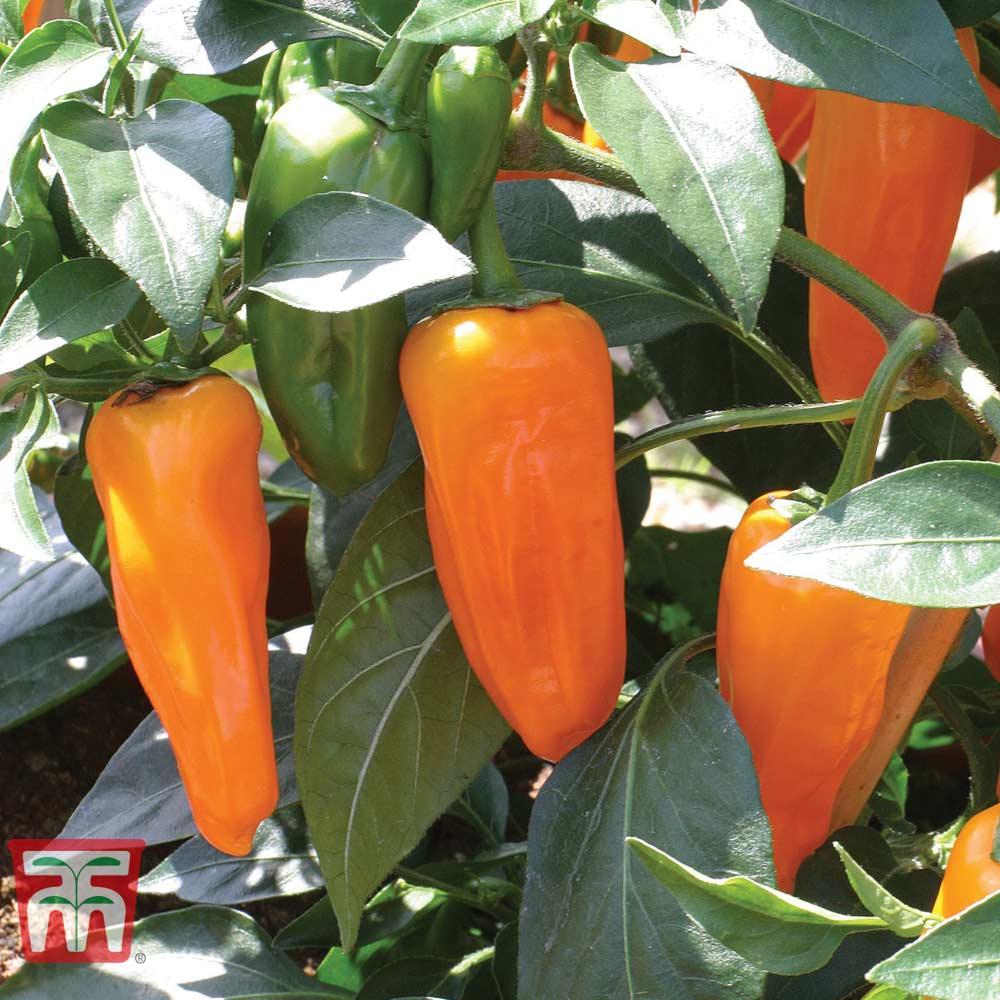 Image of Chilli Pepper 'Cheyenne'