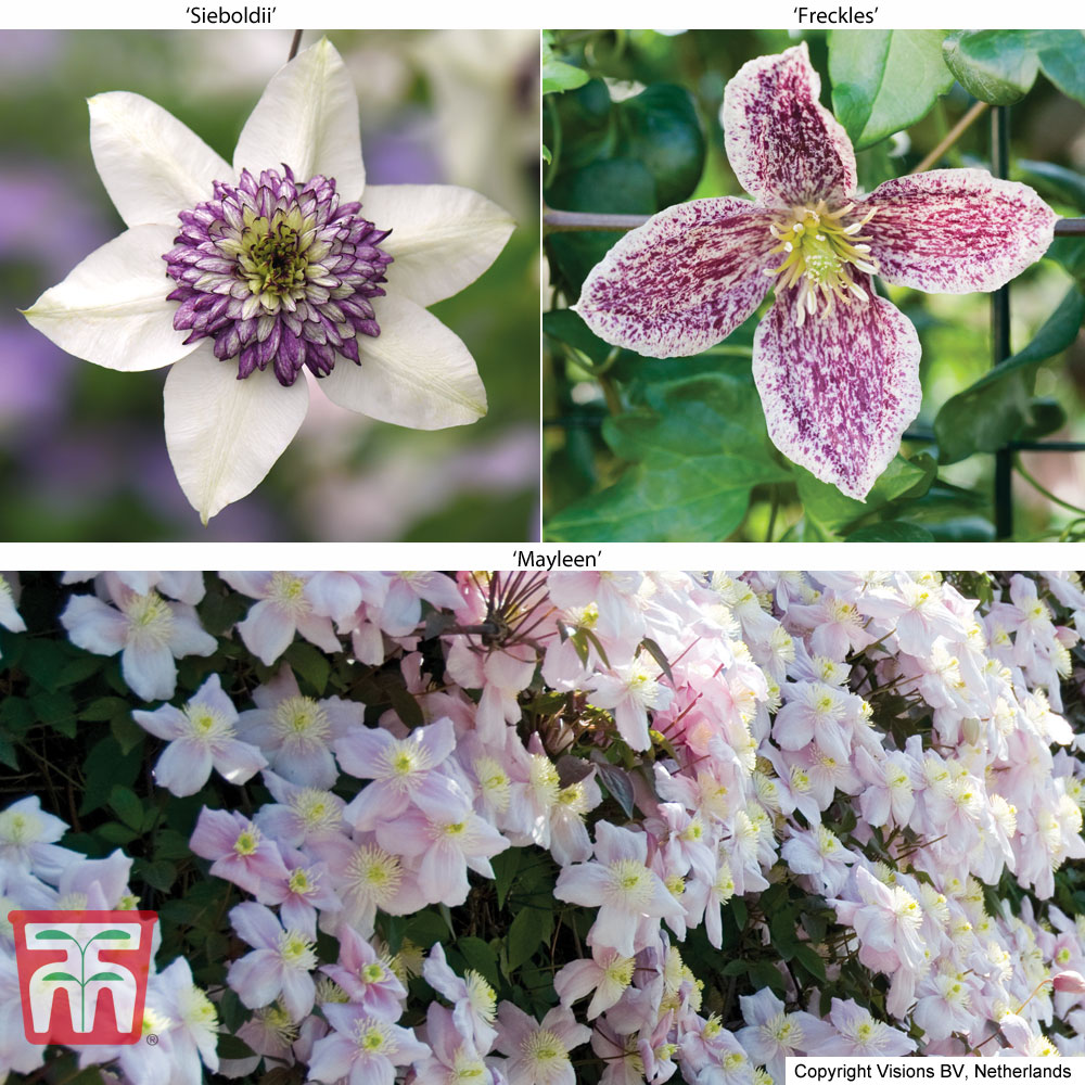 Image of Clematis Trinity Collection