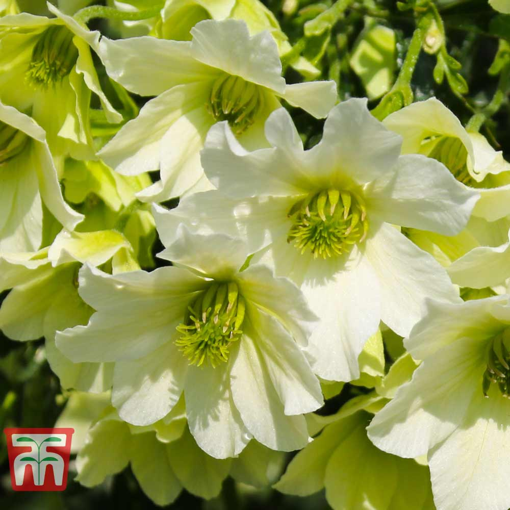 Image of Clematis 'Early Sensation'