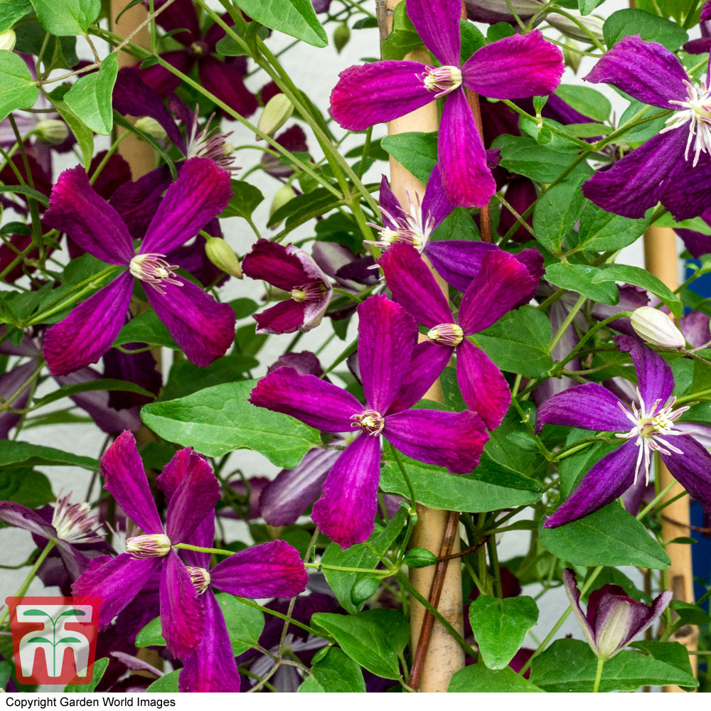 Image of Clematis 'Sweet Summer Love'