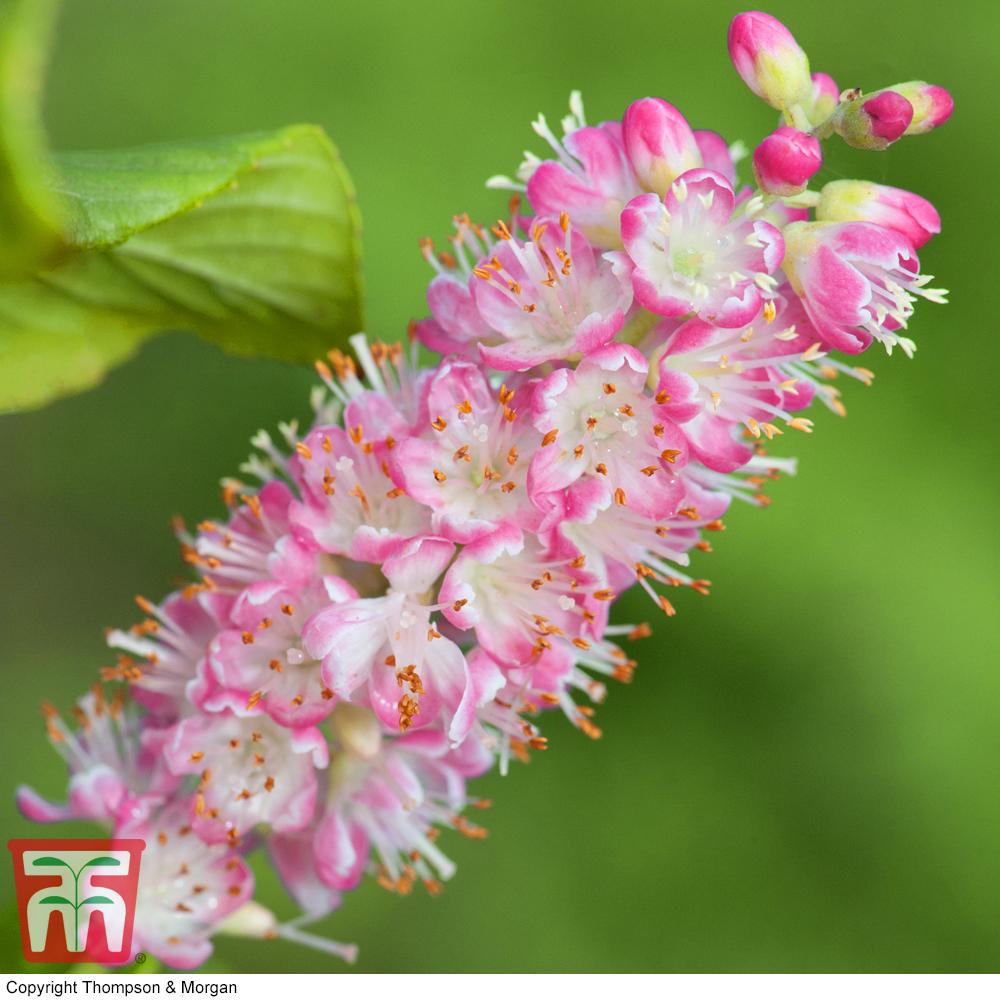 Image of Clethra alnifolia 'Ruby Spice'