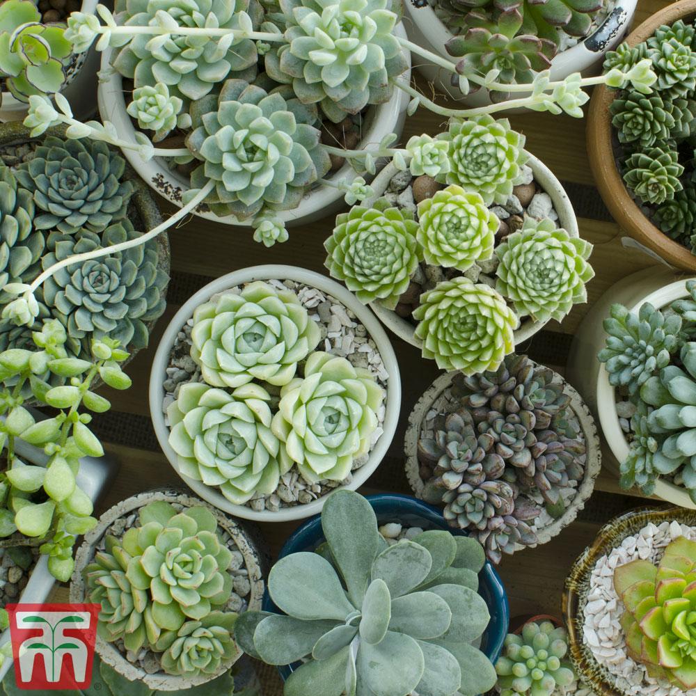 Image of Crassula Mixed (House Plant)