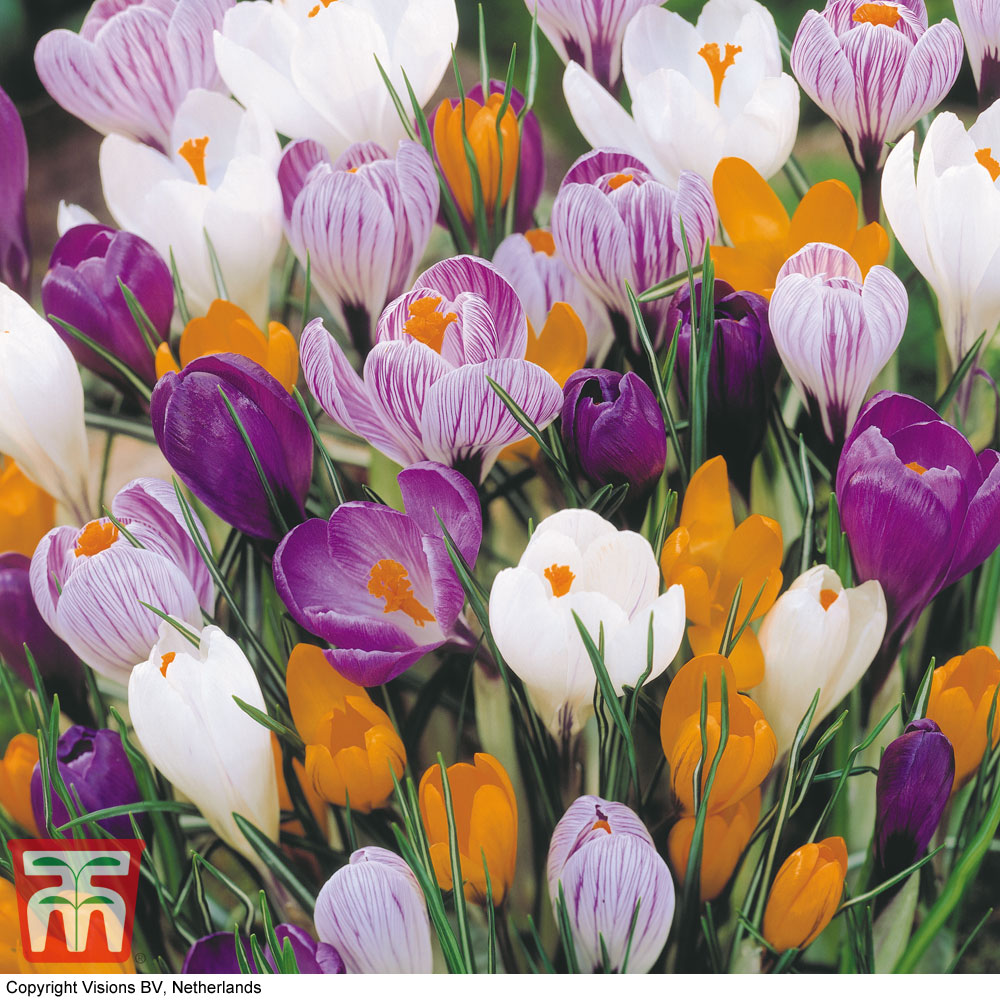 Image of Crocus 'Large Dutch Collection'
