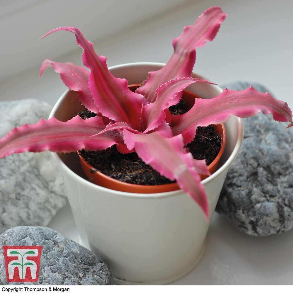 Image of Cryptanthus 'Rubin Star' (House Plant)