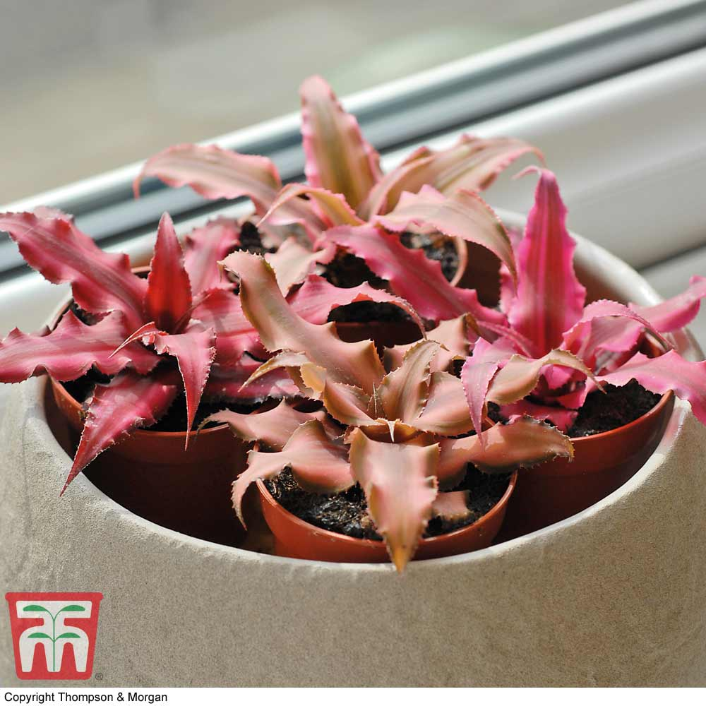 Image of Cryptanthus Collection (House Plant)