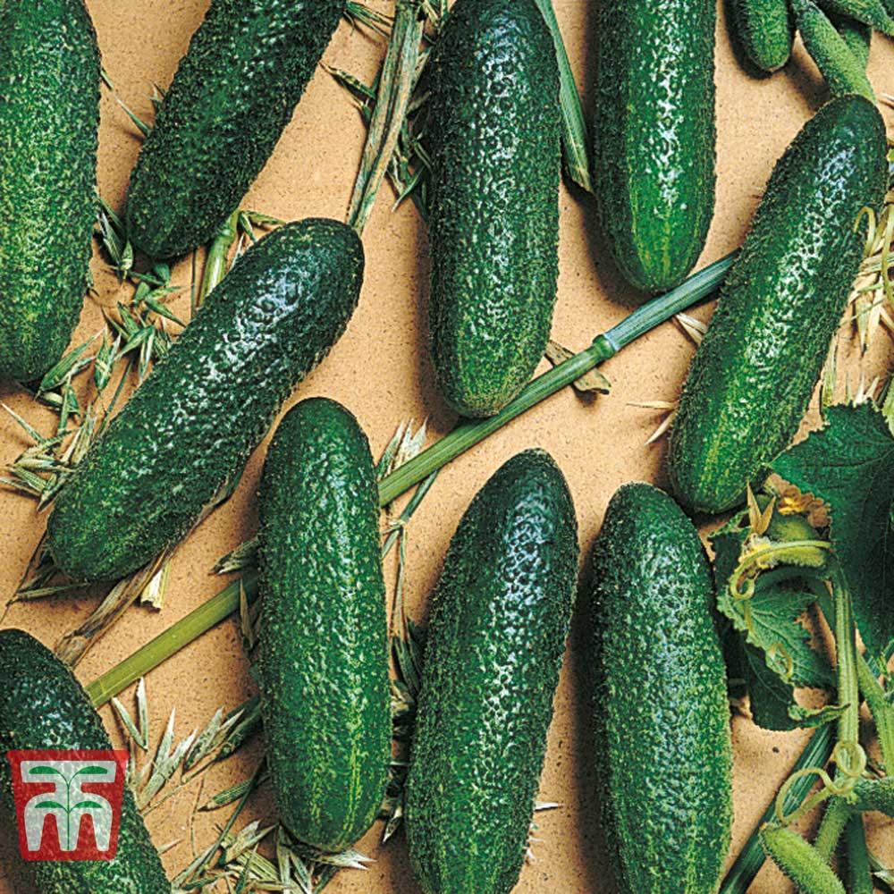 Image of Cucumber 'Corentine'