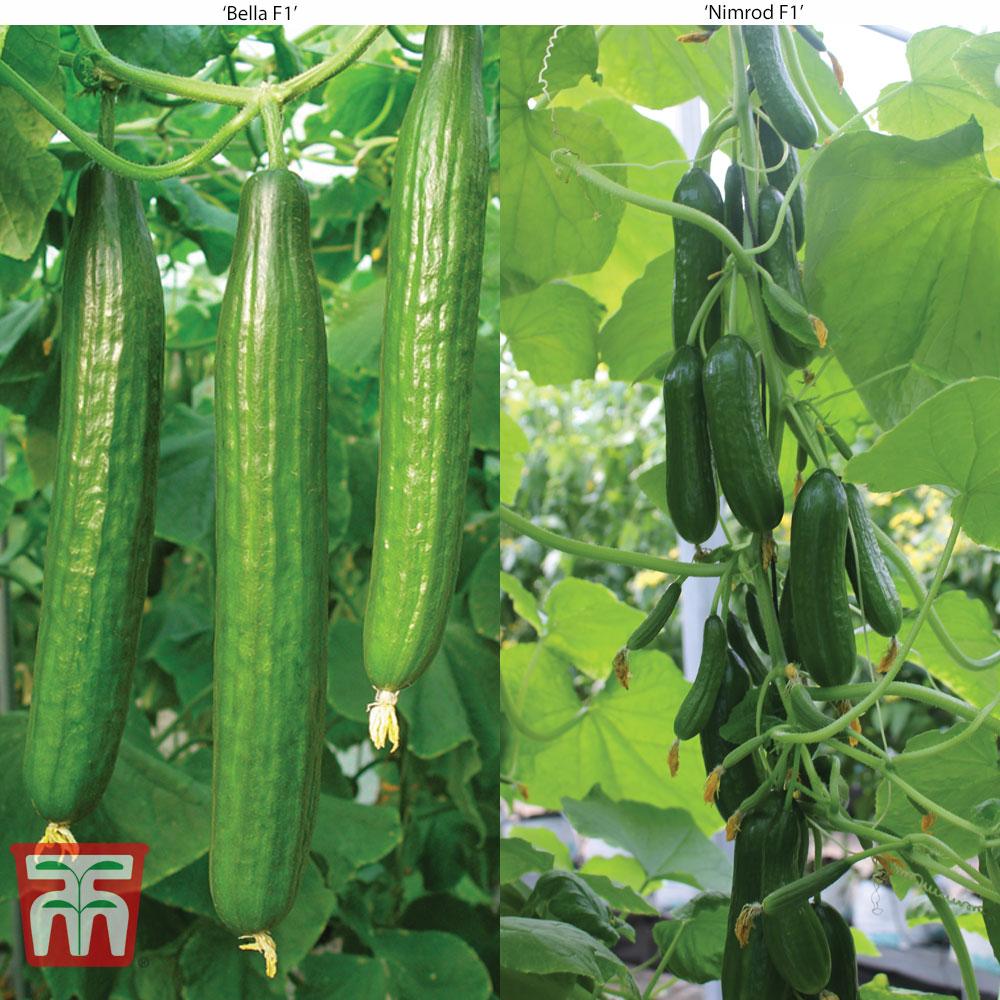 Image of Cucumber Glasshouse Duo