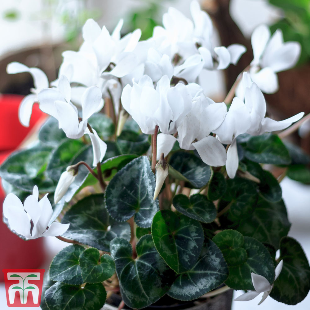 Image of Cyclamen persicum 'Super Serie Carino' (House Plant)