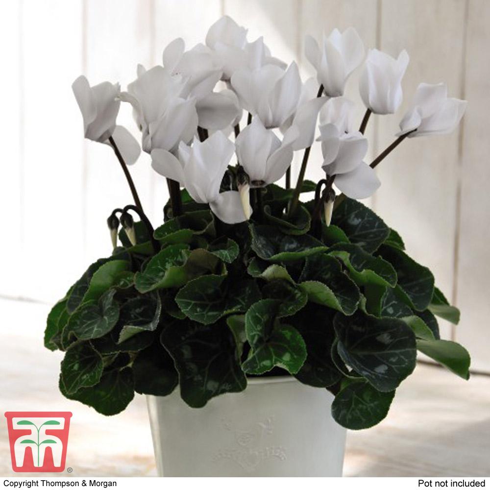 Image of Cyclamen Winter Wonderland White in Cream Zinc Pot