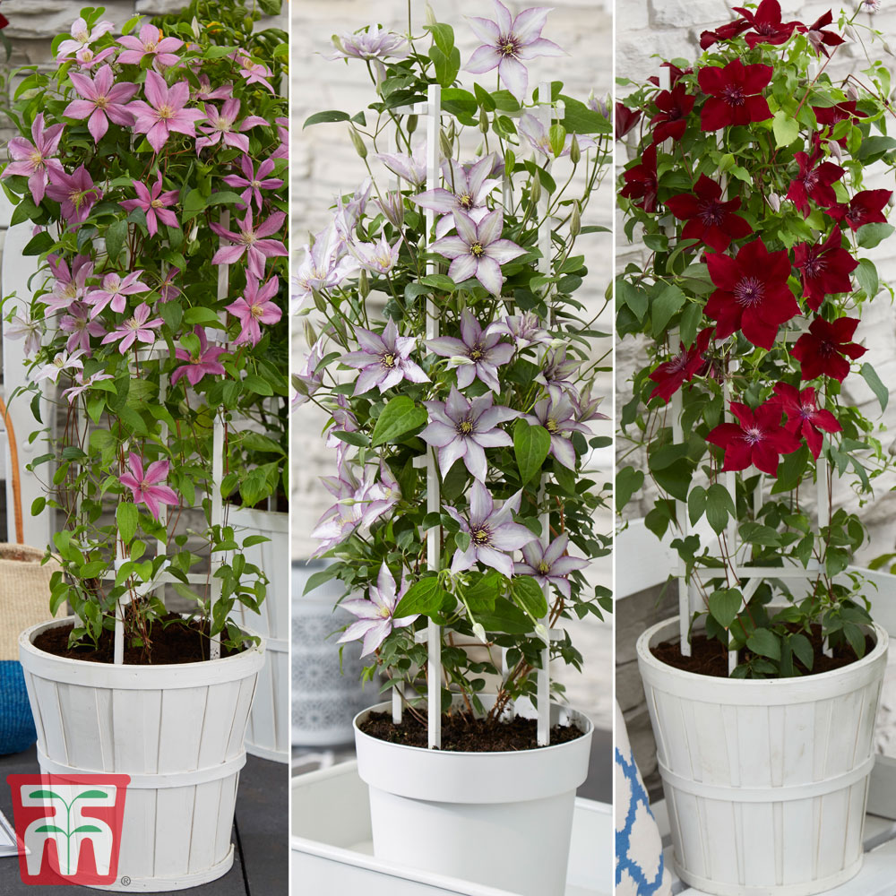 Image of Clematis Patio Collection