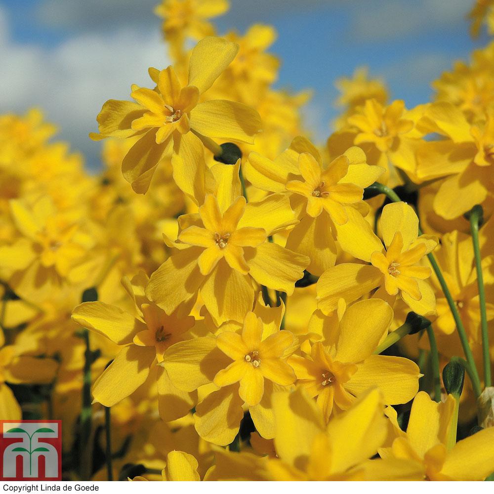 Image of Narcissus fernandesii var. cordubensis