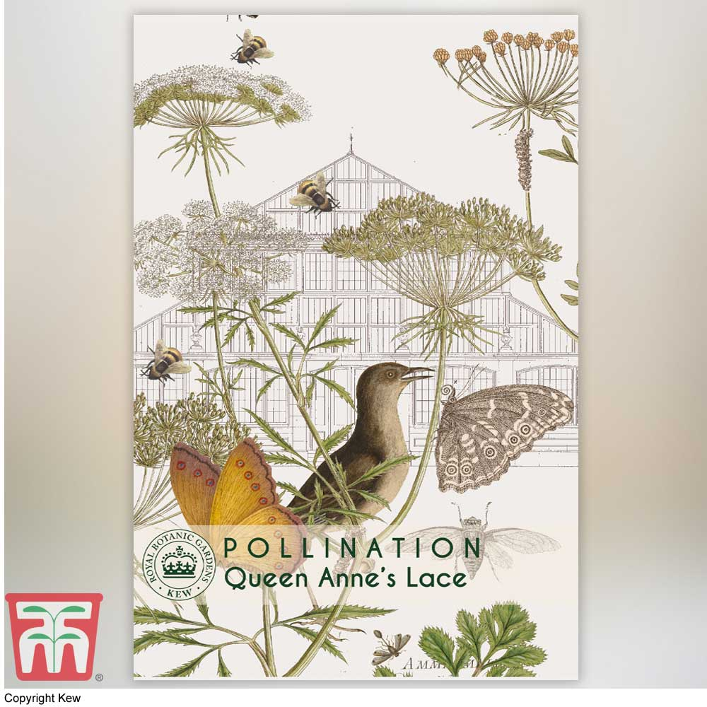 Image of Daucus carota - Kew Pollination Collection