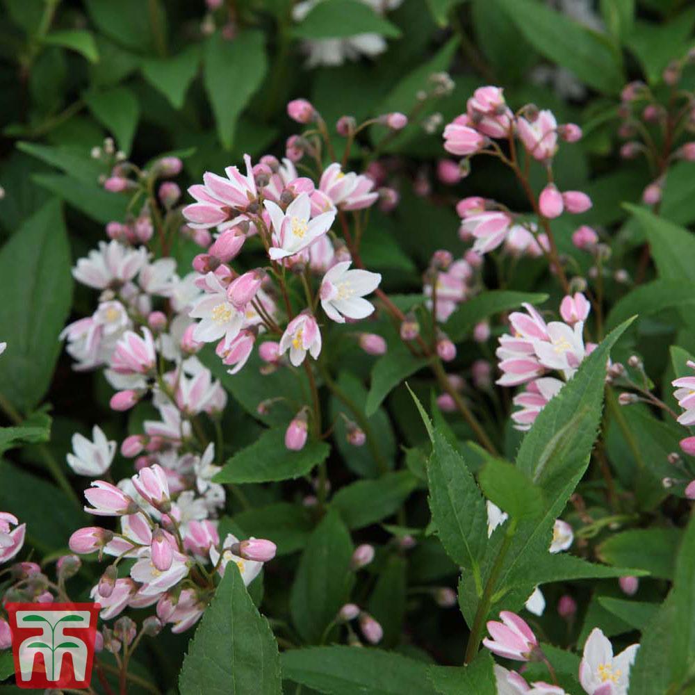 Image of Deutzia × rosea 'Yuki Cherry Blossom'