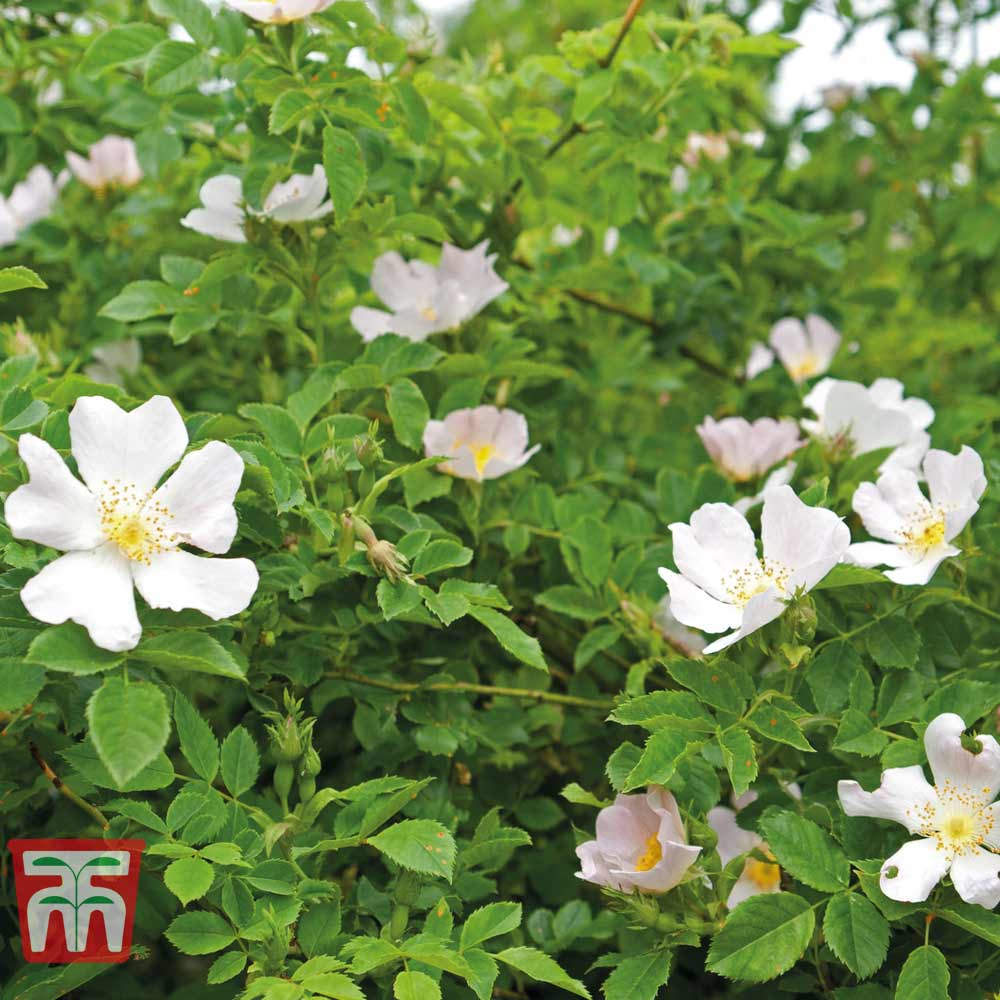 Image of Dog rose (Hedging)