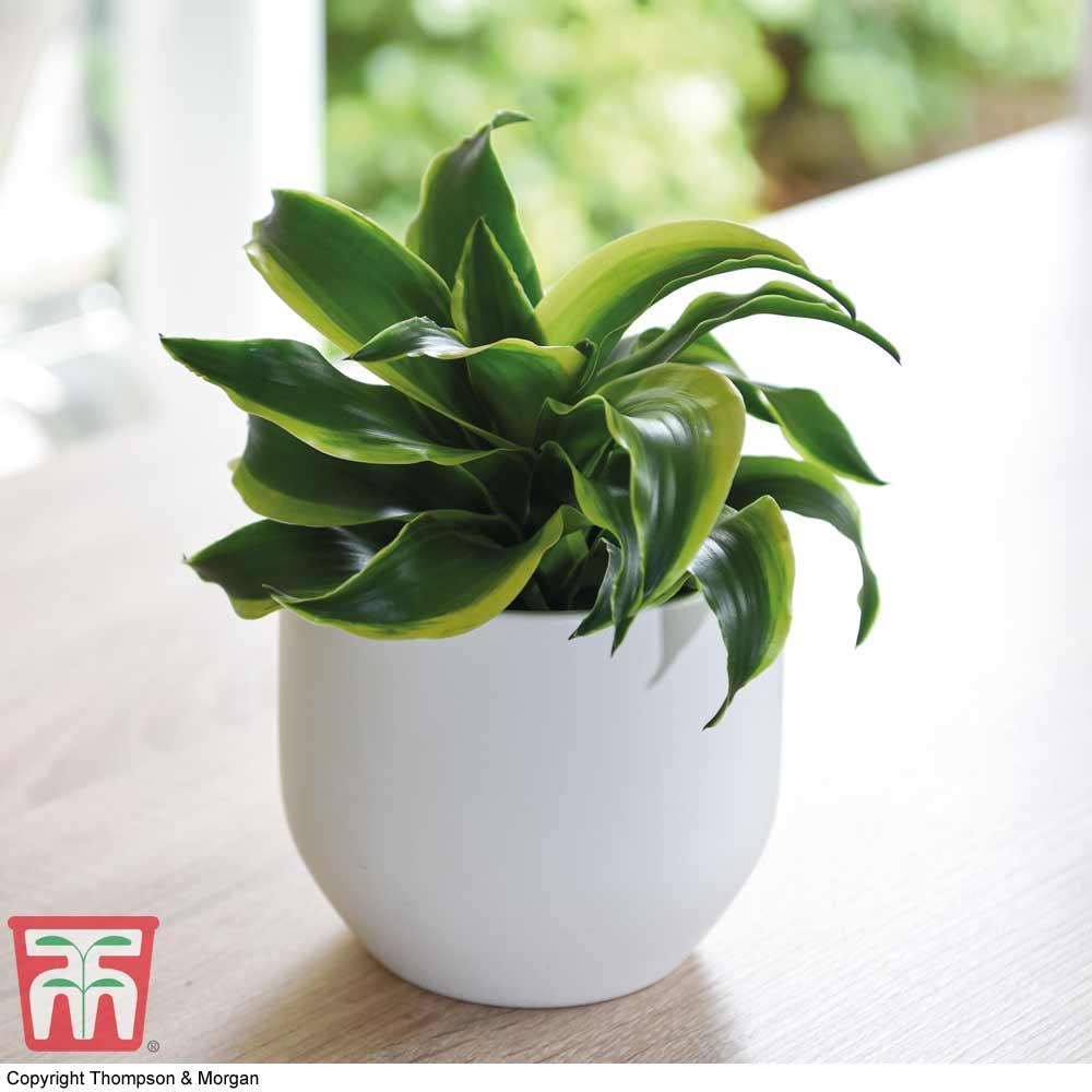 Image of Dracaena fragrans 'Tornado' (House Plant)