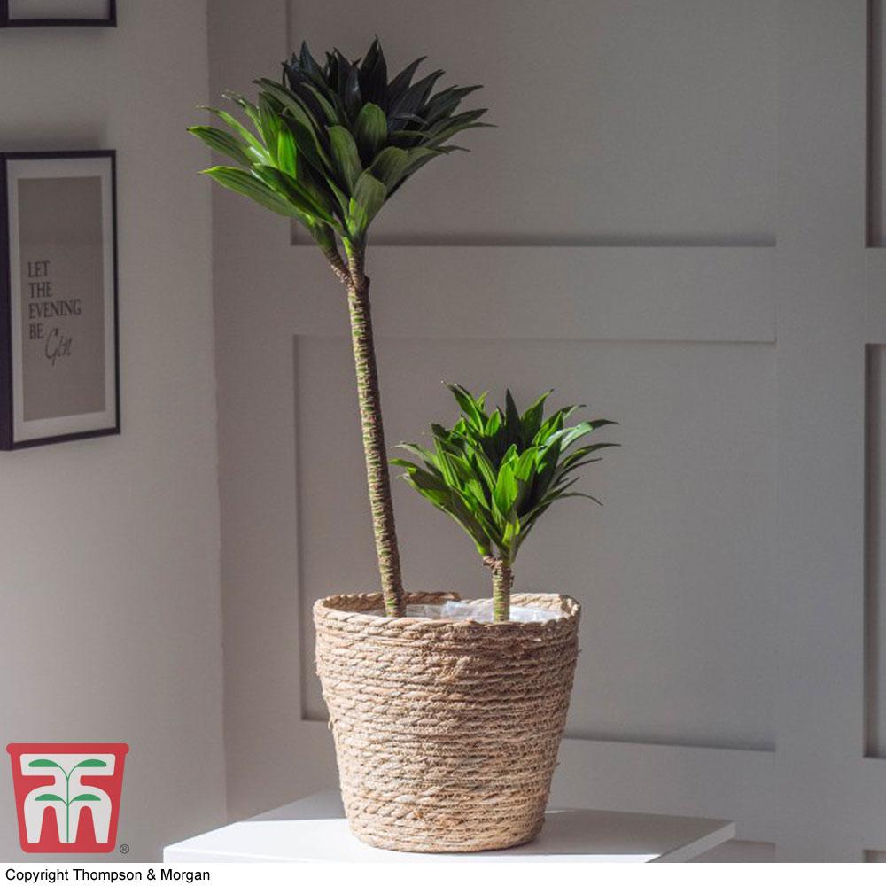 Image of Dracaena fragrans 'Compacta' (House Plant)