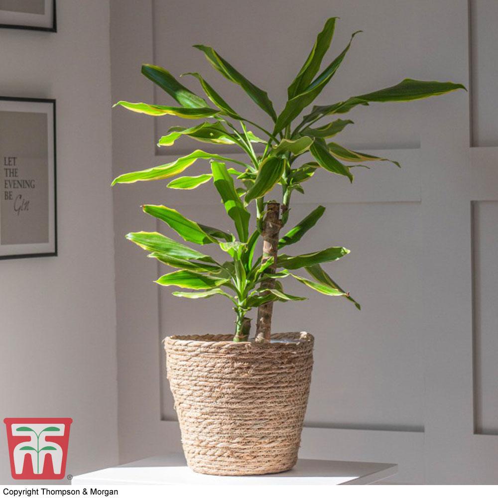 Image of Dracaena fragrans 'Golden Coast' (House Plant)