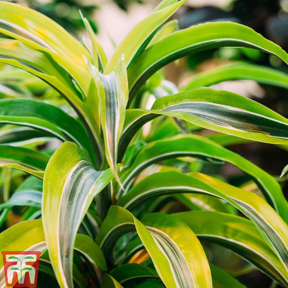 Image of Dracaena fragrans (Deremensis Group) 'Lemon Lime' (House Plant)