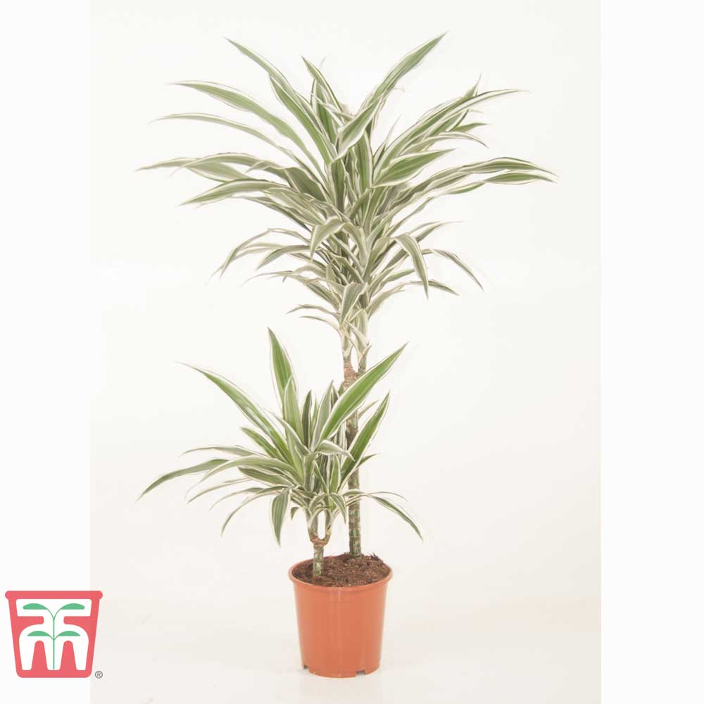 Image of Dracaena fragrans (Deremensis Group) 'White Stripe' (House Plant)